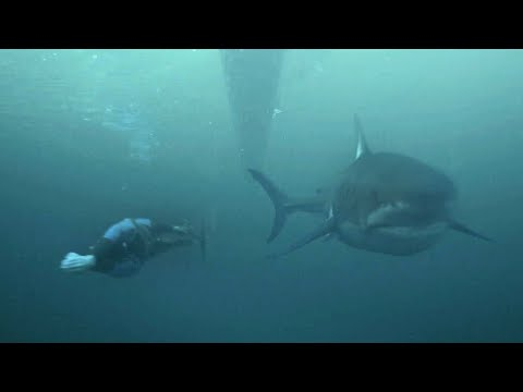 Michael Phelps races a great white shark (sort of)