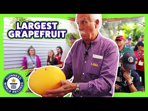 Largest grapefruit in the world! - Guinness World Records