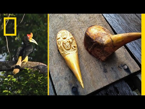 Black Market Demand for 'Red Ivory' Is Dooming This Rare Bird | Short Film Showcase