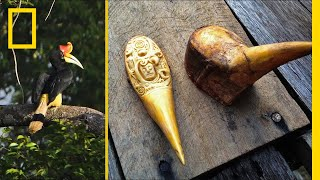 Black Market Demand for 'Red Ivory' Is Dooming This Rare Bird | Short Film Showcase thumbnail