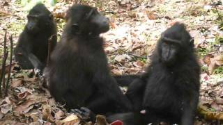 Repeat youtube video Black Macaque