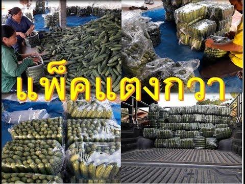 การแพ็คแตงกวาหรือ กอกแตงกวาใส่ถุงง่ายๆ ส่งออกขายตลาดได้ราคาดี