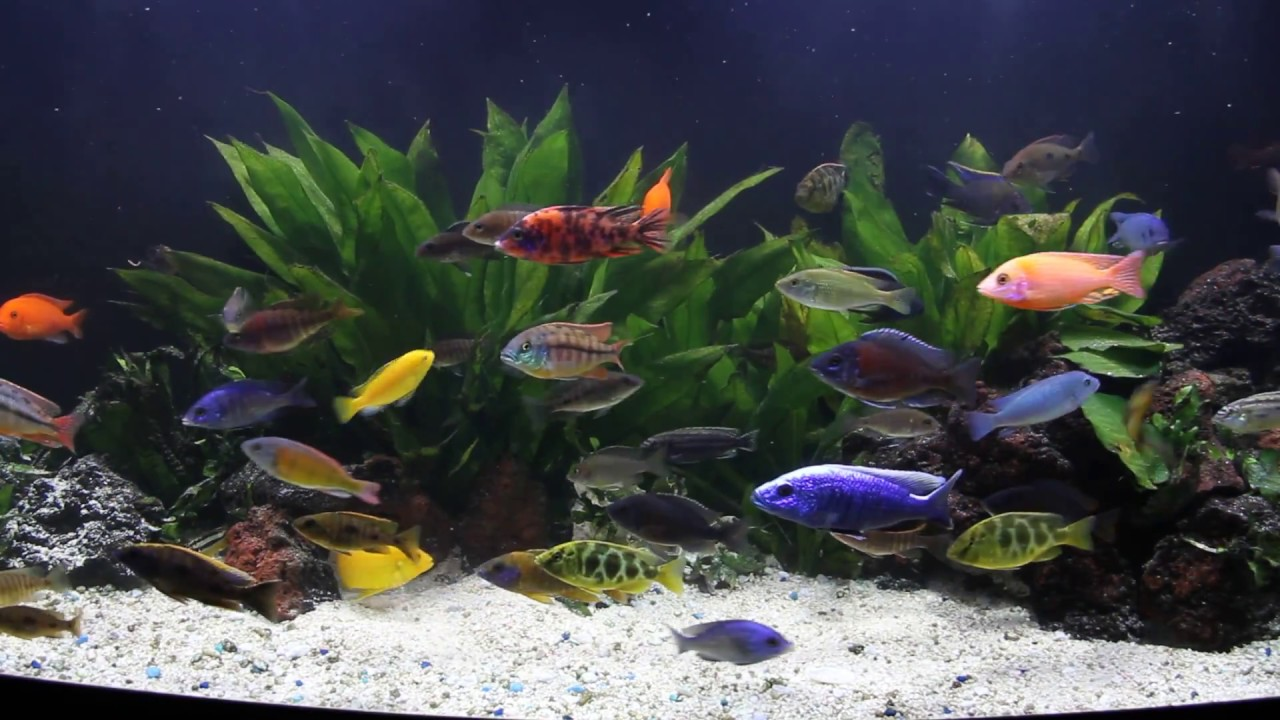 Updated video may 2013 mixed african cichlid tank 72g for Cichlid fish tank