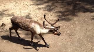 Олени Новосибирский зоопарк.Deer Novosibirsk Zoo.Интересное видео про животных
