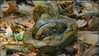 king cobra(Ophiophagus hannah)  vs reticulated python(Python reticulatus)