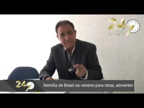 Semilla de brasil es veneno para ratas youtube Semilla de brasil es toxica
