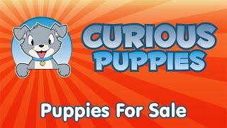 Newfoundland X Golden Retriever Puppies For Sale   Call: 905-393-8827