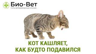 Кот кашляет, как будто подавился. Ветеринарная клиника Био-Вет.