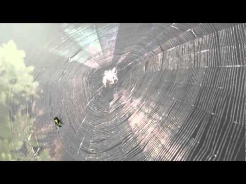 Чому павуки не потрапляють у свої сеті.flv