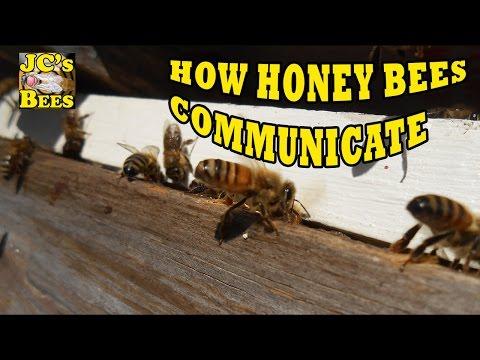 How Honey Bees Communicate Part 1 (Pheromones)