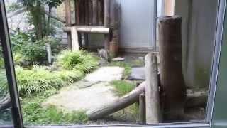 ツシマヤマネコ福馬君のお食事タイム vol.1 ツシマヤマネコ 検索動画 22