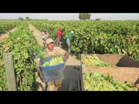 Pisca De Uva | La Gandola En Madera California | Trabajando Por ...