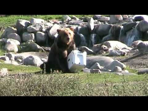Bear vs. YETI | YETI Coolers