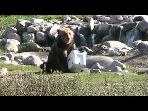 YETI Coolers - Bear vs...