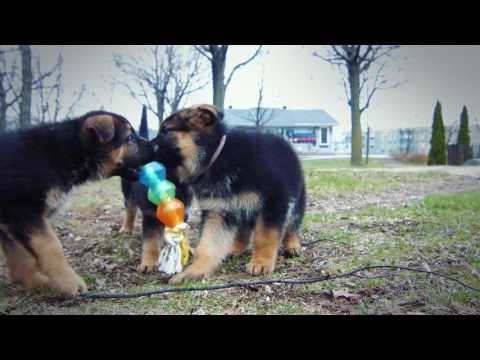 Dog Breeding - German Shepherd, Schnauzer, Poodle