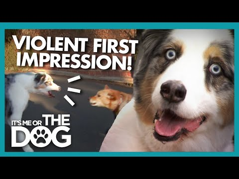 Overexcited Stains Scares Away New Dogs | It's Me or the Dog