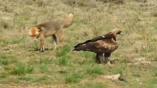 Golden Eagle v Fox Face off
