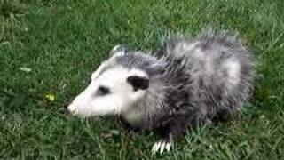 Baby the pet Opossum