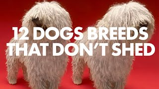 12 LARGE DOG BREEDS THAT DON'T SHED