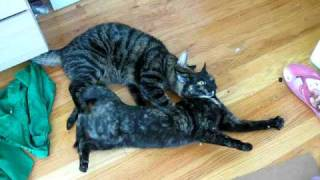 Fixed male cat trying to couple with female in heat... sideways.