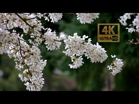 Cherry Blossom at University of Washington 20180325 4K UHD