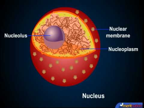 Understanding the Cell Structure - Cell Nucleus