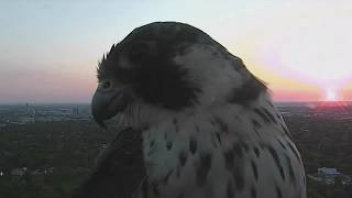Red-Tailed Hawk has dinner on the 1011 News SkyView