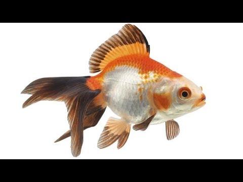 Разведение золотой рыбки. Практика.