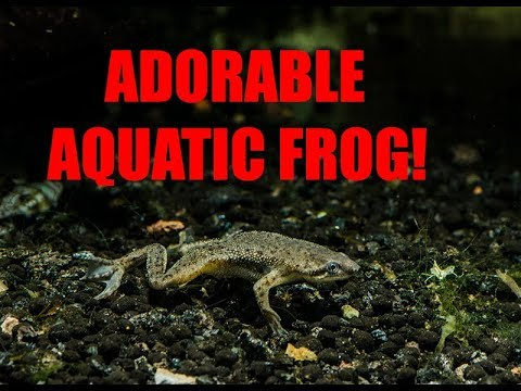 African Dwarf Frog _A True Water Clown