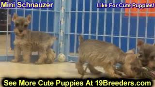 Miniature Schnauzer, Puppies, For, Sale, In, Jacksonville,florida, Fl,tallahassee,gainesville,