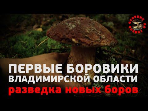 Первые боровики Владимирской области, разведка новых боров, сезон 2020. И мой первый в жизни боровик