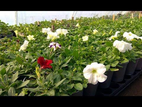 Рынок. Какие цены на петунию и др. цветы сегодня?