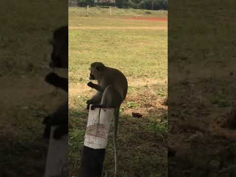 Share Picture of monkey having sex opinion you