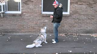 Siberian Husky First Day Learning Off Leash With Canine Education