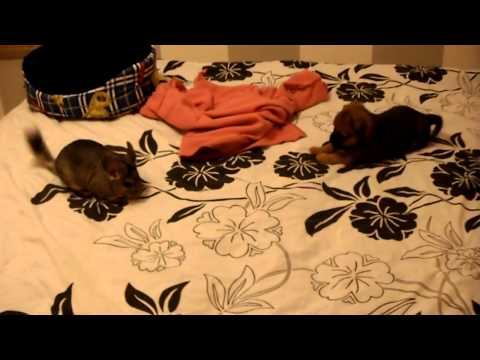 Thanks to Youtube we can watch a chinchilla and a little dog become friends