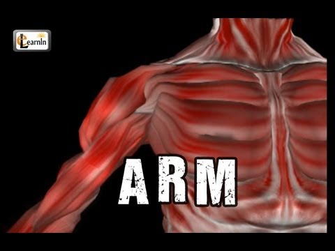 Arm Anatomy | Arm bones muscles joints | Human Anatomy and Physiology video 3D animation | elearnin