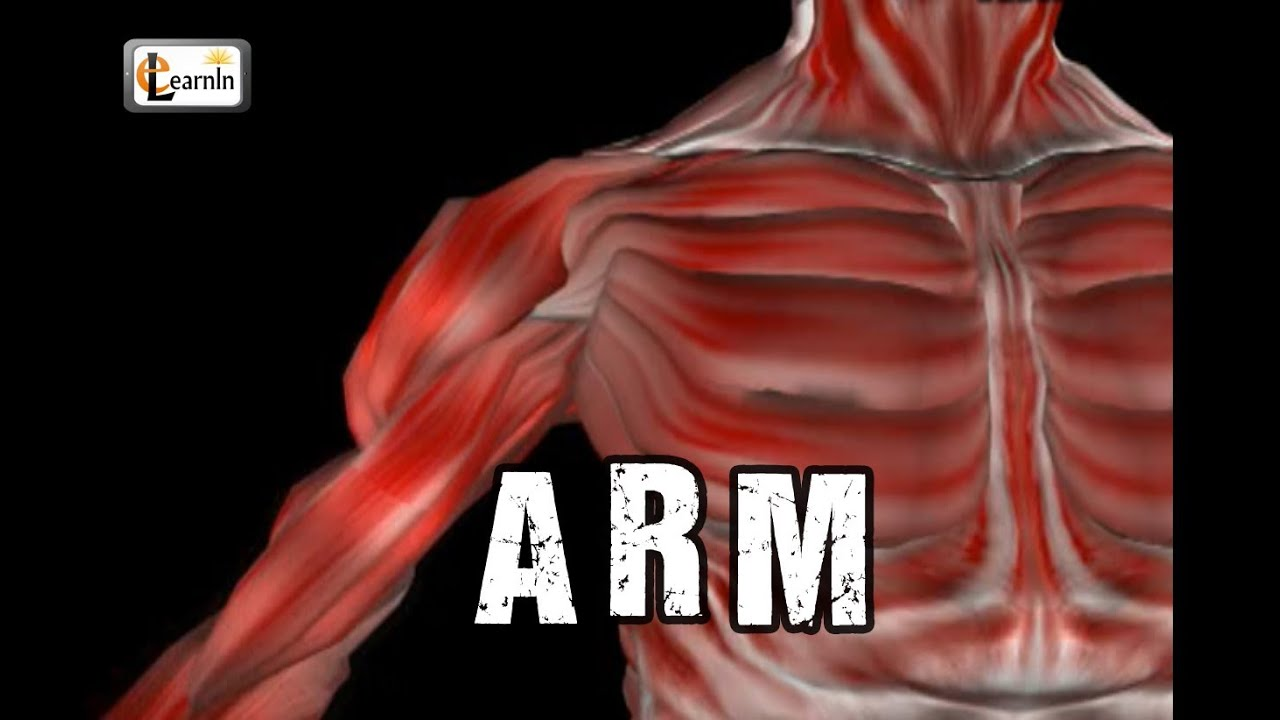 arm anatomy | arm bones muscles joints | human anatomy and, Muscles