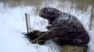 Охота на ондатру капканами видео