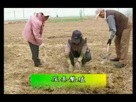灯笼果栽培技术视频 在线收看