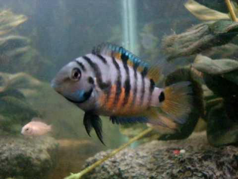 Convict cichlid a very colorful female youtube for Black fish eggs