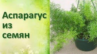 Комнатные цветы Аспарагус из семян Пересадка