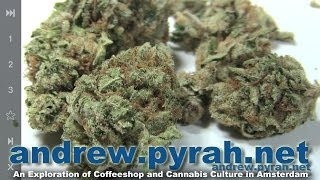 ROLLEX OG KUSH Voyagers Coffeeshop Devils Harvest Seeds - Amsterdam Weed Review 2014