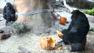 上野動物園のニシローランドゴリラの群れに特大カボチャのプレゼント♪ ...