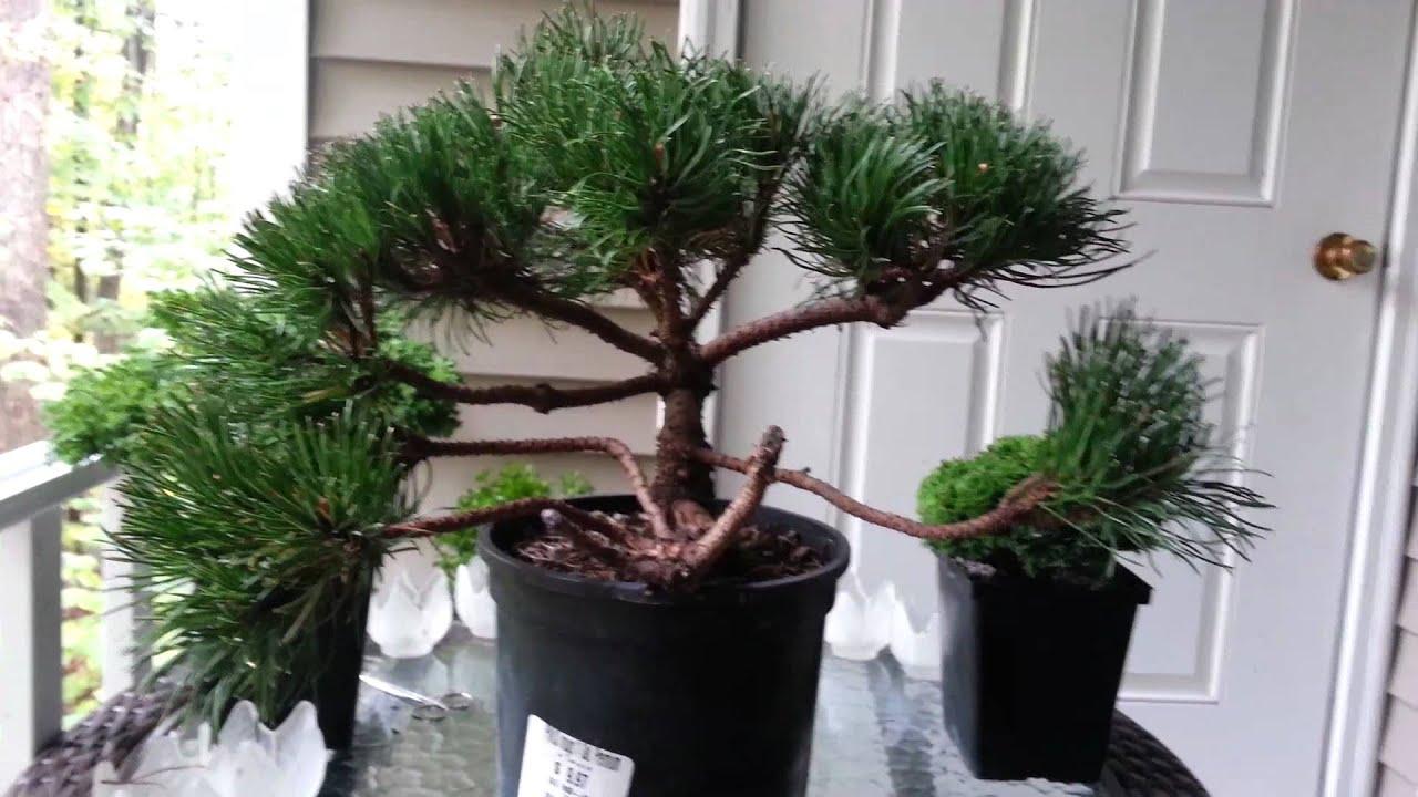 mugo pine bonsai prep youtube. Black Bedroom Furniture Sets. Home Design Ideas