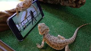 Lizards reaction: PSY Gentleman and Gangnam Style/ Ящерицы смотрят клипы PSY