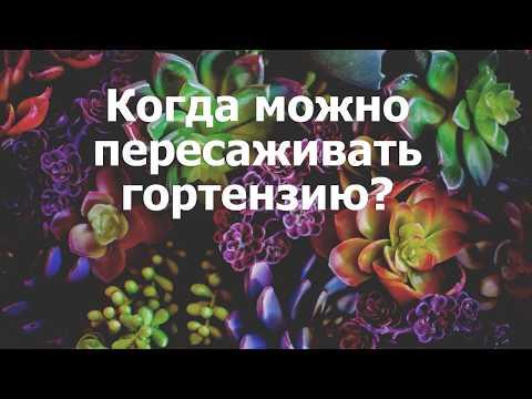 Когда можно пересаживать гортензию?