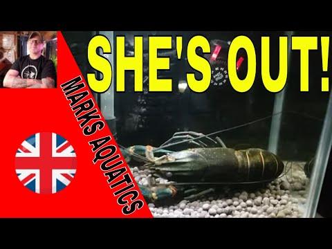 Monster Crayfish Shedding Her Shell.