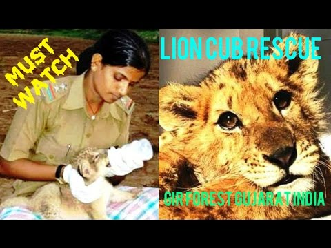 WATCH UNIQUE LION CUB RESCUE. Gir forest team Asiatic lion cute cub rescued near KHAMBHA Gujarat