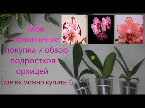 Покупка и обзор подростков орхидей, где их можно купить??