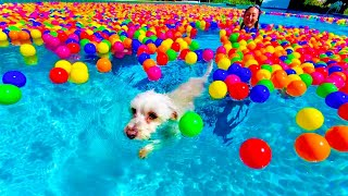 PUPPY GOES SWIMMING IN A BALL PIT POOL!!